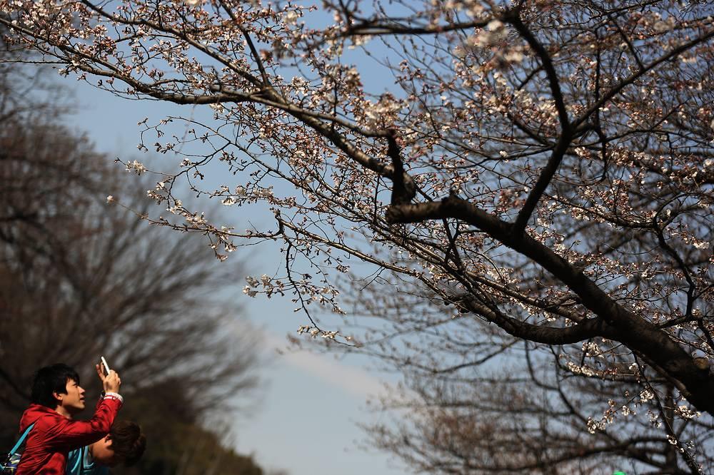 Цветение сакуры является одной из главных туристических достопримечательностей Японии
