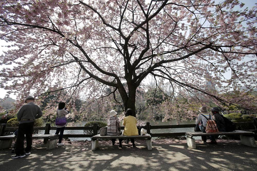 Японцы считают сакуру символом страны, а ее цветок имеет статус неофициального национального герба