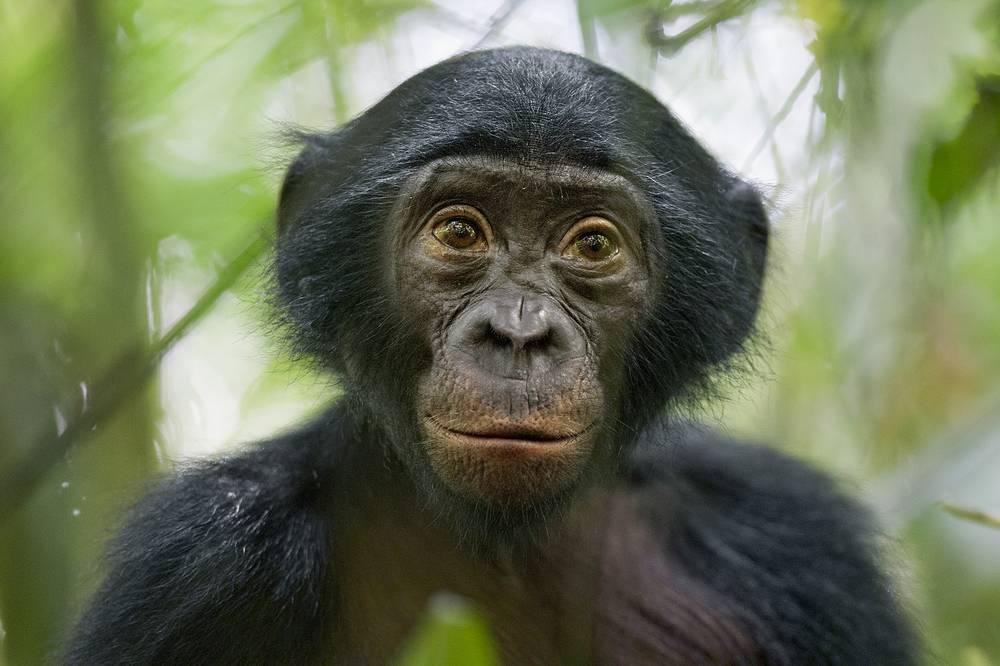 3-е место / Природа / Серии. Пятилетний бонобо недалеко от заповедника Коколопори в Демократической Республике Конго. Бонобо наряду с шимпанзе — наши ближайшие родственники, поныне живущие в дикой природе. Кроме того, это наименее изученные представители отряда приматов. 25 января 2011 года, Конго