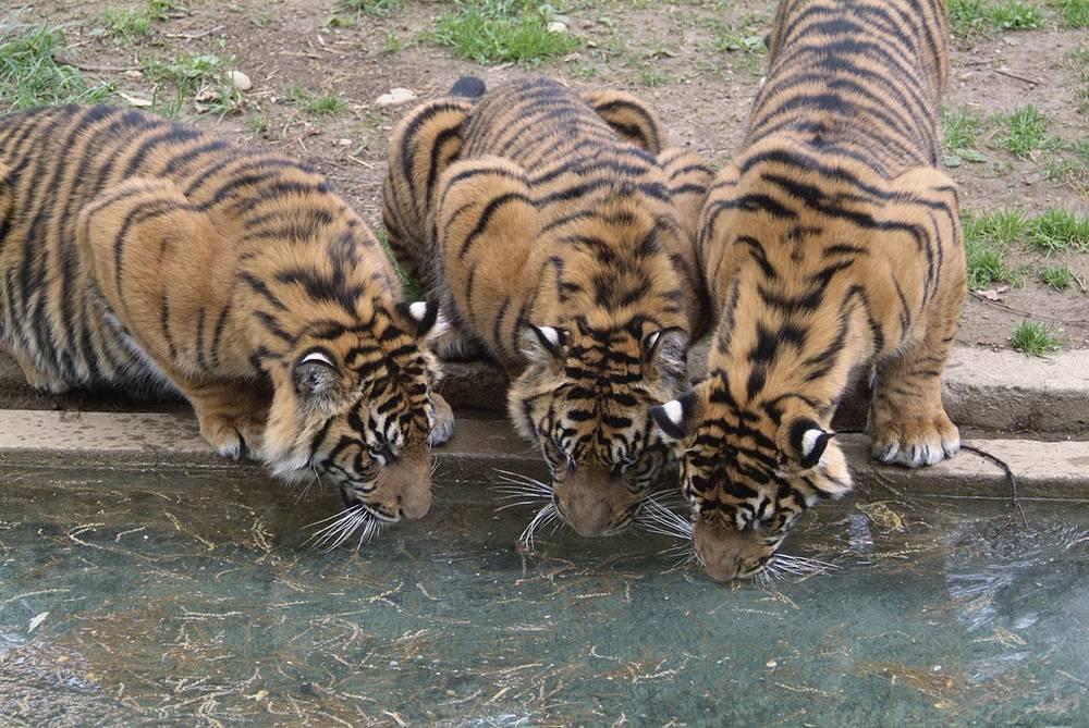 Суматранский тигр находится на грани исчезновения - всего насчитывается от 300 до 500 особей. В 2011 году власти Индонезии объявили о создании специального заповедника для суматранских тигров, куда предполагается перевести часть тигриной популяции Суматры