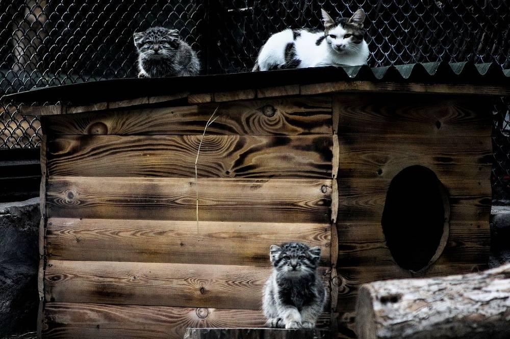 Маленьких манулов кормит домашняя кошка, которую принесла сотрудница зоопарка. У мамы малышей не было молока