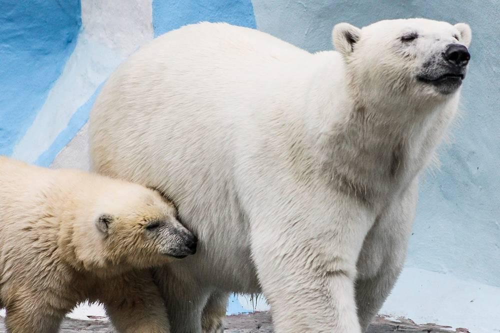 Белый медвежонок у пары Кая и Герды появился в декабре. Имя выбирали в ходе специального конкурса. Остановились на варианте Шилка