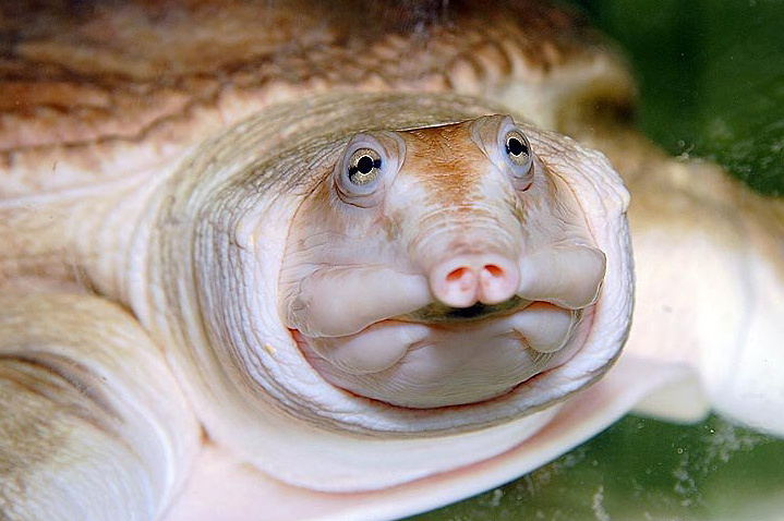 Флоридская мягкотелая черепаха