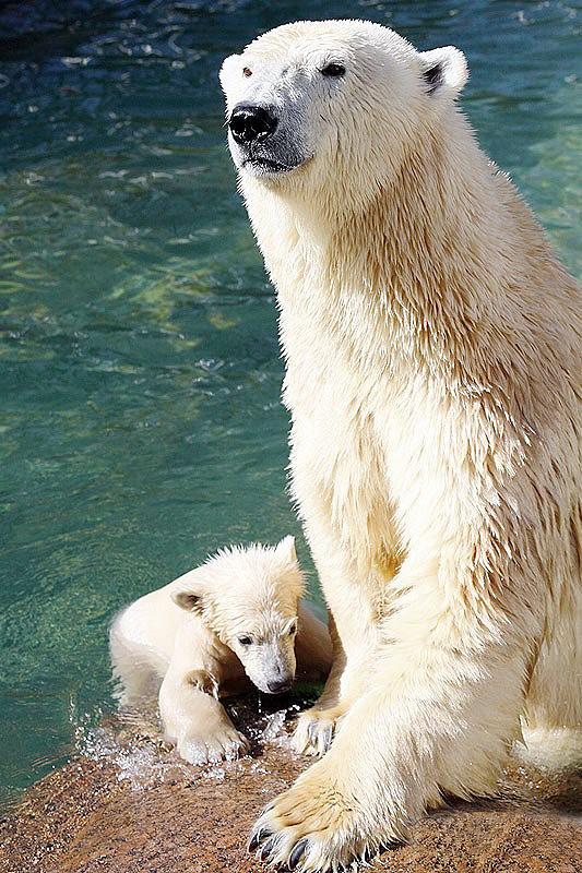 Благодаря  регулярному появлению детенышей у белых  медведей Ленинградский  зоопарк получил всемирную известность, а сам  белый  медведь стал символом зоопарка
