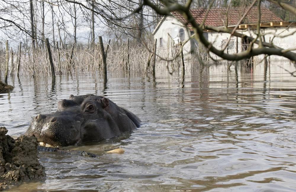 6 декабря 2010 года из частного зоопарка в Черногории, расположенного рядом со Скадарским озером, сбежал бегемот. Его обнаружили в затопленной деревне Береславц