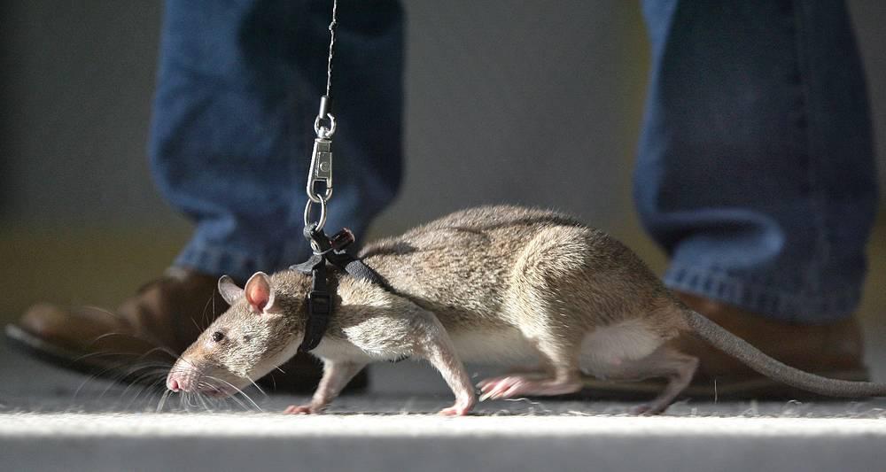 """""""Сегодня, к сожалению, человечество отстает в борьбе с этими животными, ведь крыса гораздо старше человека. Когда наши предки еще на четвереньках ходили, крыса уже была оформившимся корпоративным животным"""" (пресс-конференция 14 февраля 2006 г.)"""