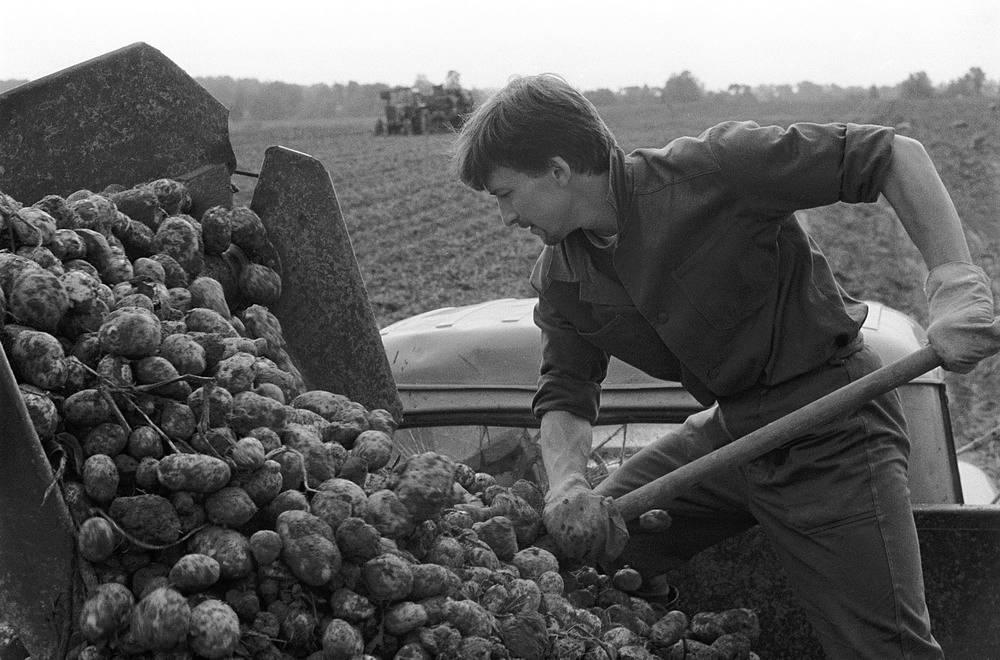 Студенты МГУ на сборе урожая картошки,1986 год