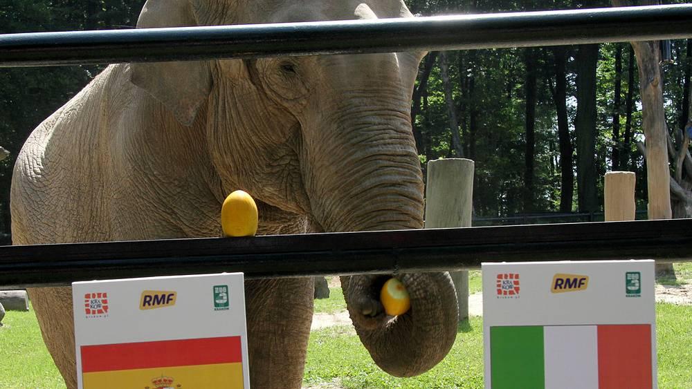 Польская слониха-предсказательница сулит победу сборной Италии в финальном матче чемпионата Европы