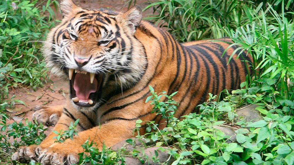 Суматранский тигр в дикой природе