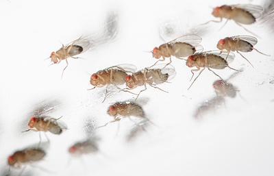 Ученые успешно завершили эксперимент по выращиванию мух-дрозофил на МКС