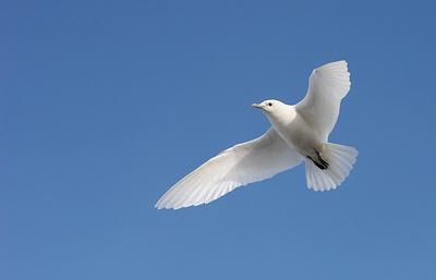 Белая птица Арктики: что позволяет чайке постоянно жить среди льдов