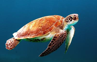 У черепах Большого Барьерного рифа нарушилось соотношение полов