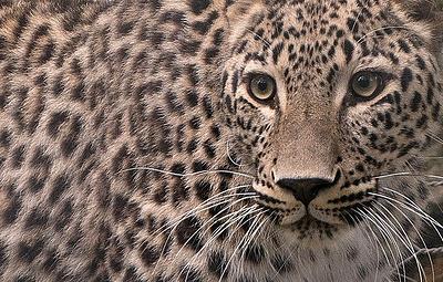 Выпущенные в горах Северной Осетии леопарды начали успешно охотиться