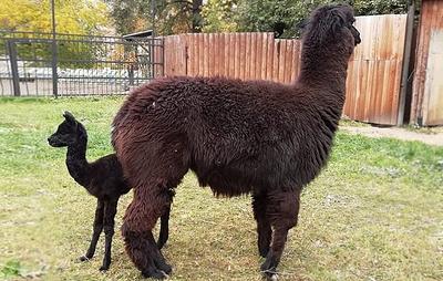 В Московском зоопарке родился детеныш альпака