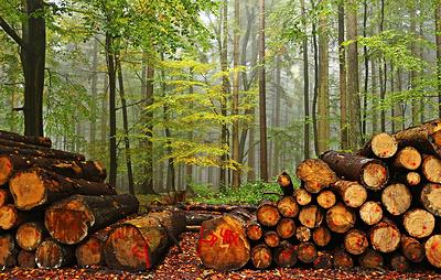 Четвертая часть сертифицированных лесов всего мира приходится на Россию