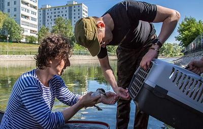 """Специалисты """"Мосводостока"""" спасли пятерых утят от ремонтных работ в Дегунинском пруду"""