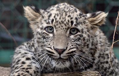 В Кавказском заповеднике установят 180 фотоловушек к выпуску пяти леопардов в 2020 году