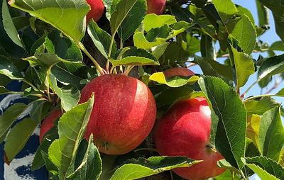 Садоводы в Крыму приступили к возрождению автохтонных сортов яблок