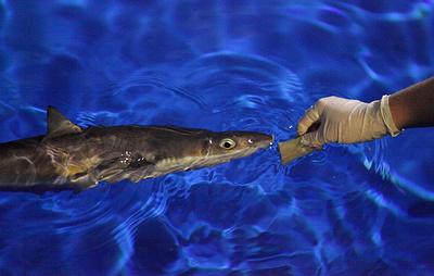 В Приморье колючих акул научили есть из рук