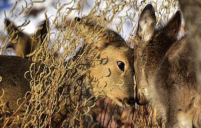 Росгвардия помогает на Алтае спасать косуль от браконьеров с помощью беспилотников