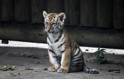 Специалисты поймали оставшегося без матери девятимесячного амурского тигренка в Приморье