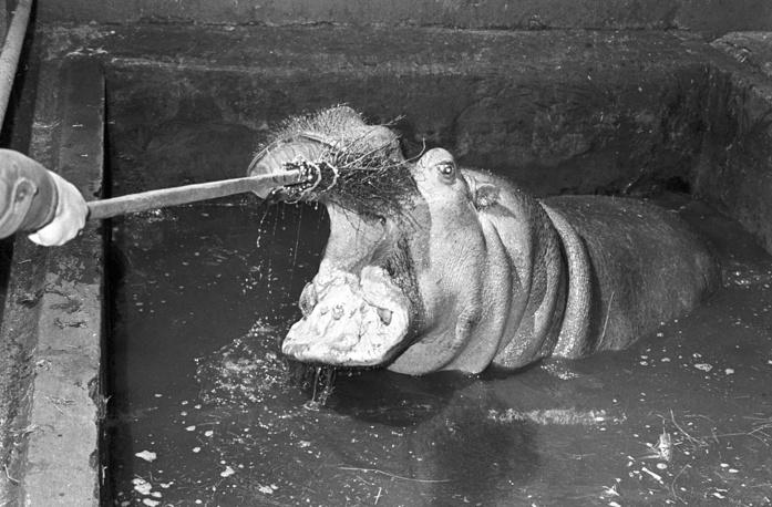 Чистка зубов у гиппопотама. 1964 год