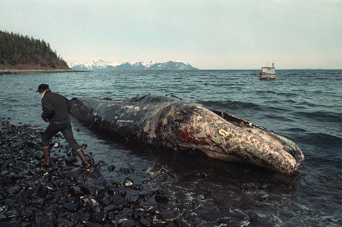 """По подсчетам экологов, разлив нефти привел к гибели 250 тыс. морских птиц, 3 тыс. морских выдр, 300 тюленей, 250 белоголовых орланов и 22 китов. На фото: мертвый кит, найденный во время ликвидации последствий аварии на танкере """"Эксон Вальдес"""", апрель 1989 г."""