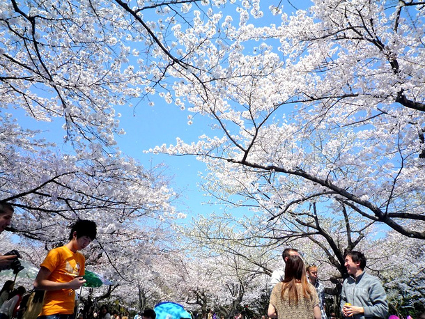 Туристы прибывают в страну для наблюдения за сакурой с середины марта по апрель