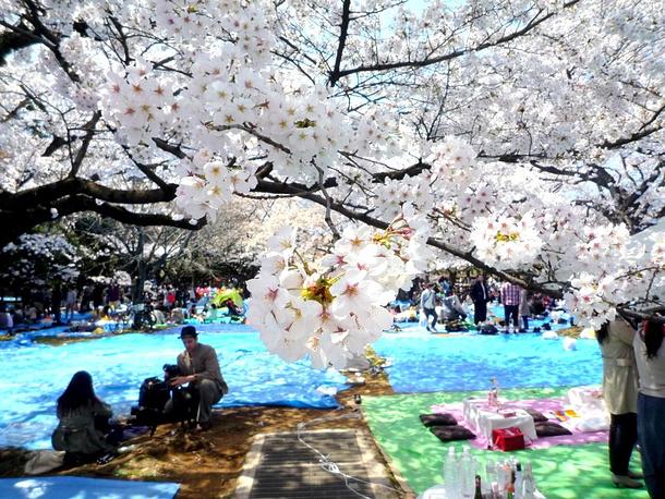 В Японии имеется пять основных видов сакуры и не менее 200 гибридов
