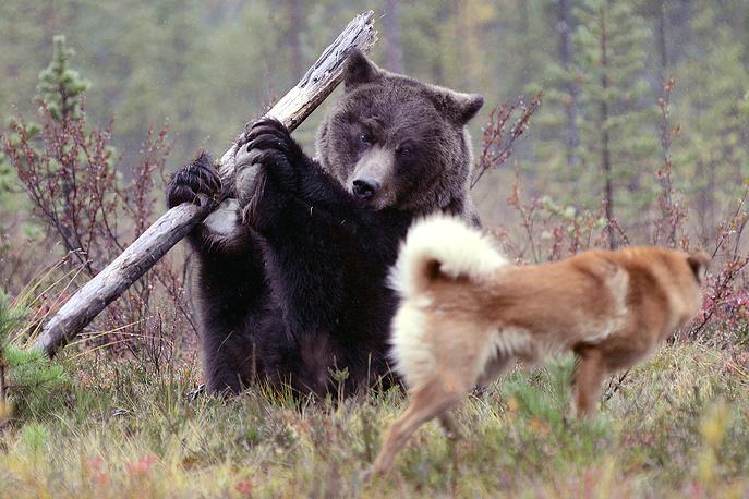 """Обучение охотничьих собак по подсадному медведю в Мурманской области, 22 сентября. Лев ФЕДОСЕЕВ: Тренировки проходят дважды в год на охотничьей базе """"Лотта"""". Собаки тренировались с медведицей Дашей, выращенной охотниками. По-настоящему агрессивных собак не было, и медведице быстро наскучило от них отмахиваться. Она нашла большую палку и стала по-цирковому крутить ее в лапах"""