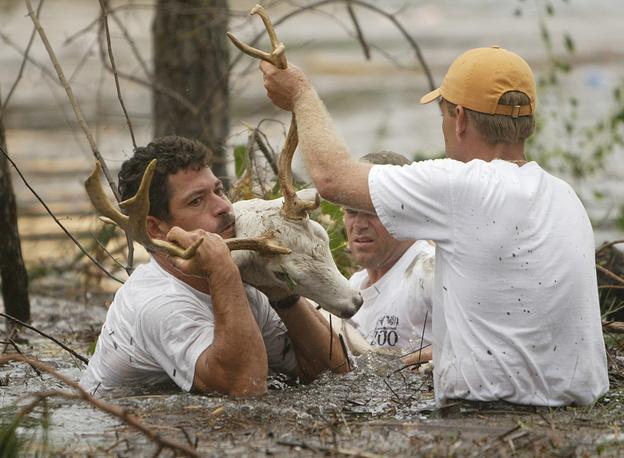"""Спасатели ловят оленя, сбежавшего из зоопарка города Галф-Шорс (штат Алабама) во время урагана """"Иван"""". США, 16 сентября, 2004 года"""