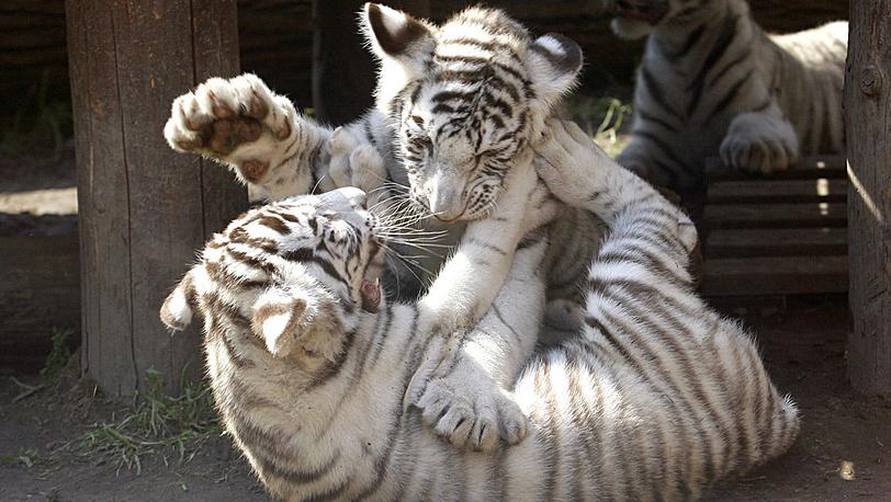 Белые бенгальские тигрята