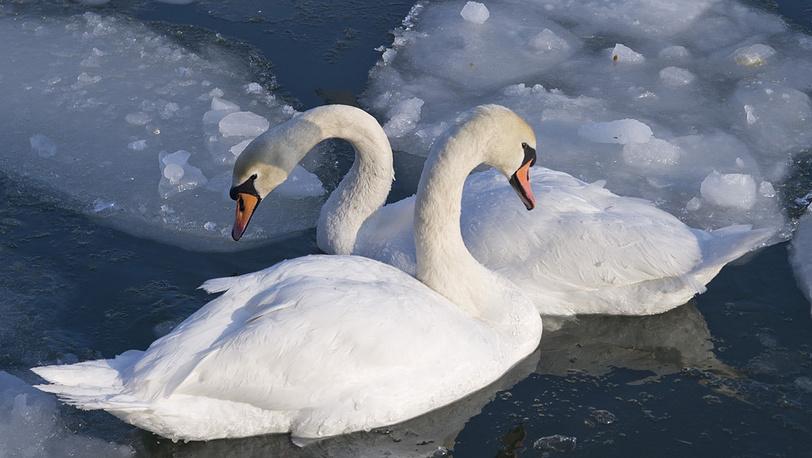 Лебеди на Балтийской косе, Калининградская область