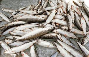 Байкальская рыба — омуль и хариус