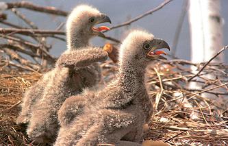 Птенцы орлана-белохвоста