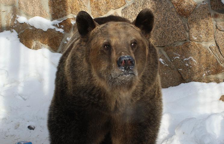 Архив. Медведица Бусинка в день выхода из спячки