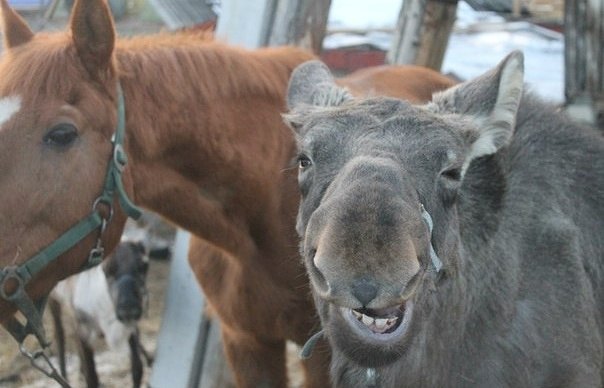 Лосенок Рокки (справа) отметил свой первый день рождения
