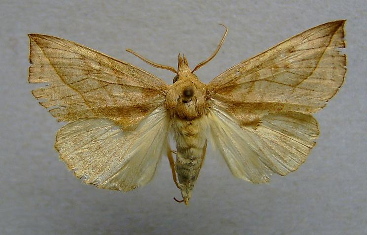 Калипта - бабочка, укусившая туристку