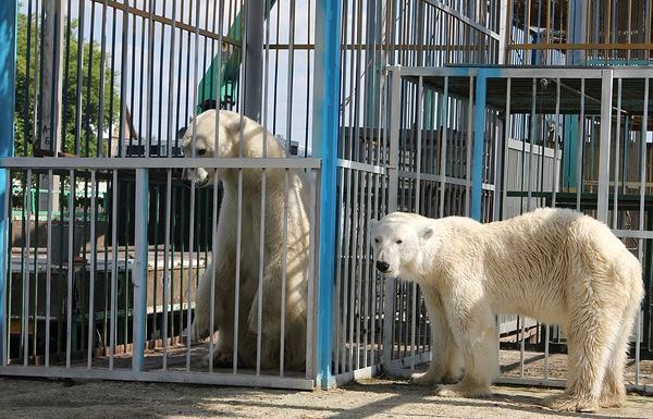 Белые медведи Командор Седов и Лапа (слева направо). Архив