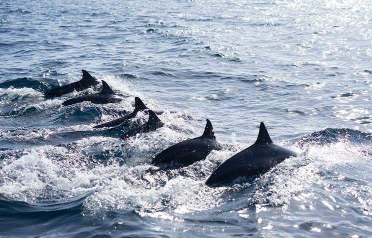 Филиппинские черные дельфины