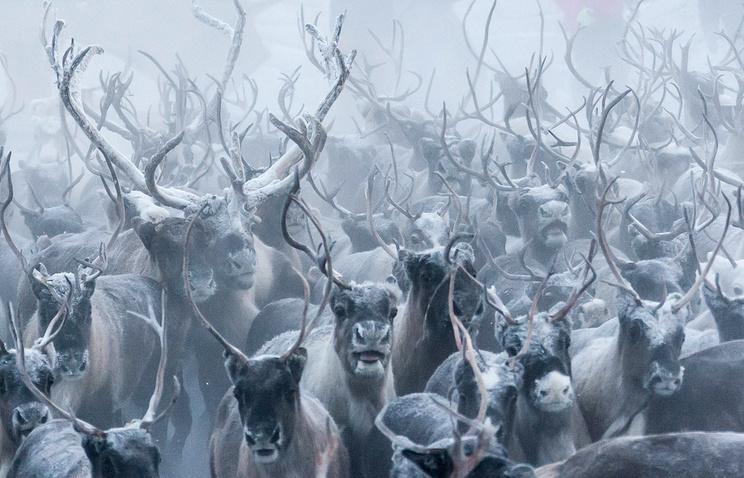 WWF РФ информирует онезаконном отстреле 20 тысяч северных оленей