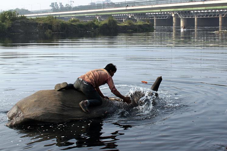 Махаут купает слона в Ямуне рядом с Нью-Дели
